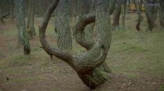 Dancing forest Curonian Spit Куршская коса Танцующий лес
