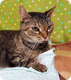 Prattville, AL - Domestic Shorthair. Meet Chloe 26391, a cat for adoption. http://www.adoptapet.com/pet/17875469-prattville-alabama-cat