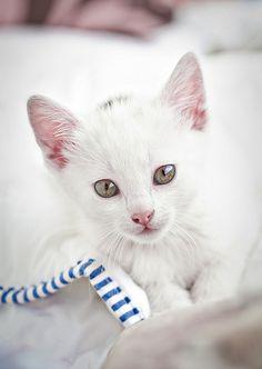white kitten cat