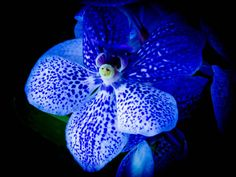 Blue Orchid Photo macro nature photography   8 x by TheHeartWithin, $25.00