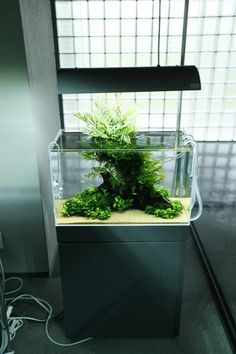ADA Nature Aquarium Gallery Bolbitis Heudelotii Emerse
