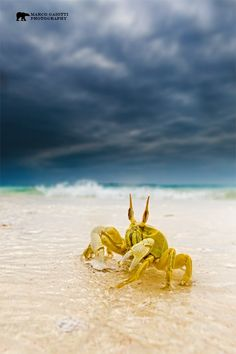 Photograph Ghost crab by Marco Gaiotti on 500px