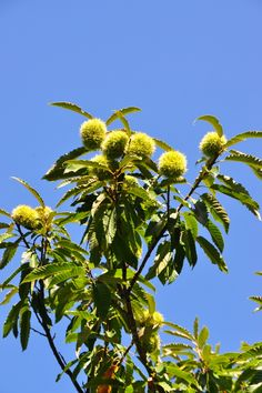 chestnuts and blue sky