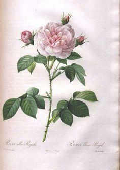 Botanical - Flower - Les Roses 17  ~ so many amazing botanical pictures here!!!
