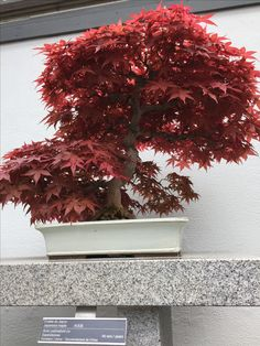 Penjing - Japanese maple - 40 years old - Montreal Botanical Gardens, Canada Montreal Botanical Garden, Botanical Gardens, Old Montreal, Japanese Maple, Growing Tree, Live Long, 40 Years, Bonsai, Christmas Wreaths