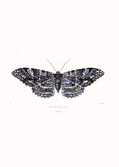 BEAUTIFUL 8x10 Vintage Moth Print