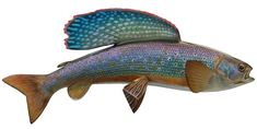 arctic grayling - Google Search