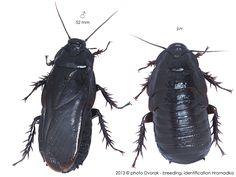 Panesthia angustipennis brevipennis Rose Hair Tarantula, Roaches, Beetles, Natural History, Dragon Ball, Bugs, Creepy, Creatures, Board