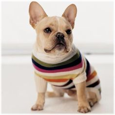 Frenchie in a Coach sweater!
