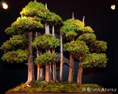 Juniperus Foemina Bonsai