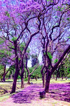 See Buenos Aires painted purple! The city's emblematic Jacaranda trees flower in November with magnificent purple blooms.