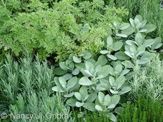 Sage 'Berggarten' ~ Scented Geranium 'Lady Plymouth ~ Lavender 'Munstead ~ Lavender 'Provence ~ Santolina & Thyme...beautiful combo
