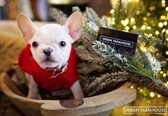 Jiggle Bells, Jiggle Bells, Jiggle All the Waaaaaaaay! Our Little #ShopDog Jigg thinks your Special Someone Needs a Gift Card to #UFD this #Christmas!  #JiggKnowsBest #DontYouLoveHer