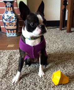 Sinead the Boston terrier poses so nicely with her BarkBox toy.