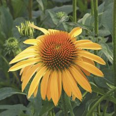 Big Sky™ Harvest Moon - Coneflower - Echinacea purpurea hybrid
