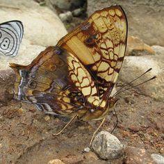 Hypanartia lethe - Orange Mapwing | Flickr - Photo Sharing!
