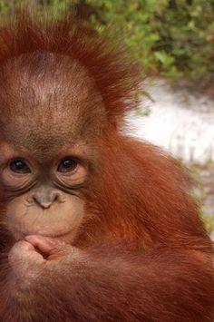 Save these amazing apes Animals And Pets, Baby Animals, Funny Animals, Cute Animals, Primates, Beautiful Creatures, Animals Beautiful, Slow Loris, Baby Orangutan