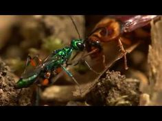 WATCH Beautiful Wasp Turn Cockroach Into A Zombie In 5 Minutes - Smile Sumo - Weird News, Viral Videos, Funny Pictures, Satire Stories