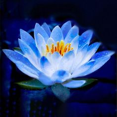 lotus flower lotus seeds Aquatic plants bowl lotus water lily seeds Perennial Plant for home garden Lotus Flower Seeds, Lotus Flower Pictures, Blue Lotus Flower, Blue Flowers, Lotus Flowers, Flower Colors, Lotus Tatoo, Plant Labels, Blue Garden