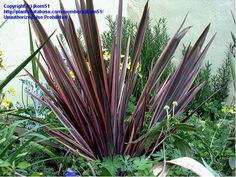Full size picture of New Zealand Flax 'Sundowner' (<i>Phormium tenax</i>)