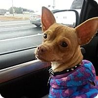 **SHANNON** Chihuahua Dog for adoption in Lawrenceville, Georgia - Shannon