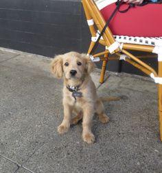 Henry the Miniature Golden Retriever (Cocker Spaniel Mix) Puppy
