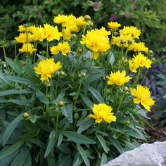 Coreopsis grandiflora Presto - Longfield Gardens