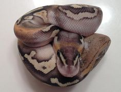 Pastel Lesser/Champagne Chimera - http://ball-pythons.net/gallery/showimage.php?i=46481=5