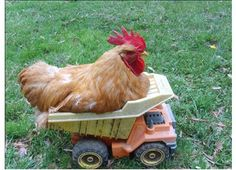 Best farm animal picture I've found to date.