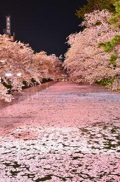 Cherry blossoms float, Hirosaki Castle, Aomori, Japan