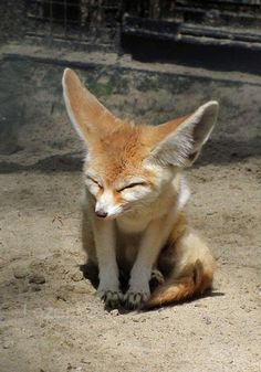 fennec foxes are amazing!