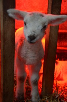 A 2013 Lamb under lamp keeping warm in the barn - the early Welsh lambs had to stay in the shed as it was snowing outside. (I think he may be saying: Hey, that candle's just fallen over on to the Hay! Animals And Pets, Cute Animals, What Is Cute, Sheep And Lamb, Down On The Farm, Robins, Lambs, Happy Girls, Keep Warm