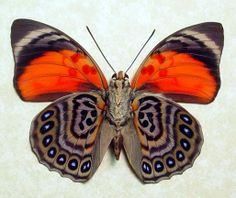 Agrias Claudina Lugens Real Red Framed Butterfly 438v. $69.99, via Etsy.
