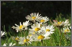 Irish Wildflowers - Daisy, native