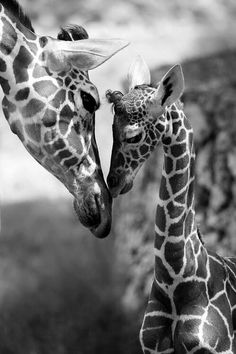 Mother Girafe with her baby Giraffe Cute Baby Animals, Animals And Pets, Funny Animals, Wild Animals, Animals Kissing, Cutest Animals, Safari Animals, Nature Animals, Beautiful Creatures