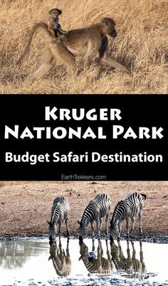 Kruger National Park as a Budget Safari Destination. Travel advice on how to go on safari and keep costs low. Go on a self-drive tour of Kruger in South Africa.