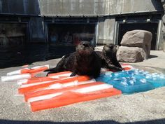"""dailyotter: """" Sea Otters Wish Their American Friends a Happy Independence Day We're flashing back today to the Fourth of July when this photo was taken at Monterey Bay Aquarium. Hope everyone has a safe Independence Day today! Sandbar Shark, Animal Pictures, Cute Pictures, Otter Pops, Monterey Bay Aquarium, Monterey California, Sea Otter, Happy Independence Day, Sea Birds"""
