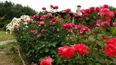 Rosas 2015