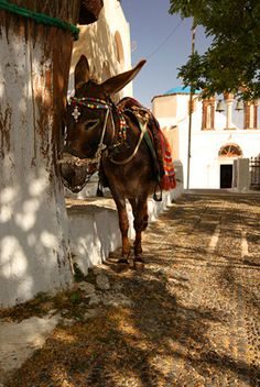 Donkey In The Shade - Santorini, Kyklades