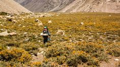 Yerba Blanca (Chuquiraga oppositifolia). Yerba Blanca crece entre los 2.000-3.000m s.n.m. desde Coquimbo a Linares (IV a VII región), también en Argentina, Perú y Bolivia. Foto camino al volcán Tupungato.
