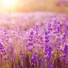 7 Clever Ways To Use Lavender http://www.prevention.com/health/ways-to-use-lavender