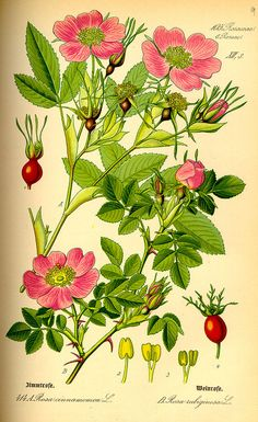 Botanical illustration of Rosa majalis and Rosa rubiginosa by Otto Wilhelm Thomé, published in 1885 in Germany. Rosa majalis, also known as the cinnamon rose, grows as a shrub in the forests of Europe and Siberia. Rosa rubiginosa, also known as sweet briar or eglantine, has a similar distribution and appearance. #WildRose