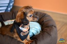 This Chiweenie is a huge O's fan