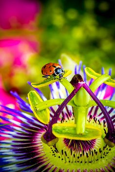 Lady bug cruising about on the ever stunning Passion flower .