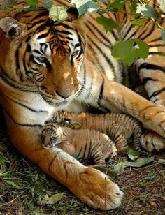 Tiger with two cubs