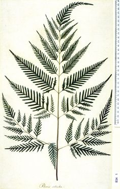 Botanical Illustration - Pteridium aquilinum Remember that you can get true prints by hammering leaves onto fabric or paper with transfer of chlorophyll dye. Botanical Tattoo, Botanical Drawings, Botanical Illustration, Botanical Prints, Illustration Art, Plant Drawing, Back To Nature, Natural History, Ferns