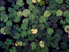 lily pads, green, water, pond, nature