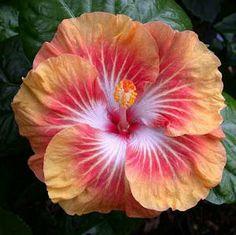 Hibiscus Tahitian Rising Sun