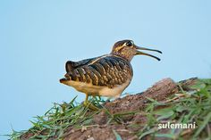 greater painted snipe male