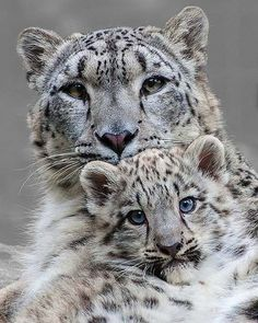 Well hello there ☺️😱. Beautiful snow leopards 🐆 cub and mother 😍. Snow leopards are perfectly adapted to the cold, barren landscape of… Big Cats, Cool Cats, Cats And Kittens, Beautiful Cats, Animals Beautiful, Cute Baby Animals, Animals And Pets, Animals Images, Baby Snow Leopard